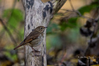Grive solitaire 2014-10-19_IMG_3902